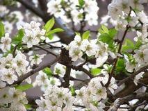 Fleurs du prunier images libres de droits