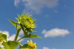 Fleurs du soleil de bébé Images stock