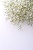 Fleurs du souffle de la chéri Image stock