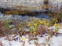 Fleurs dunaires Image stock