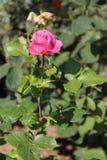 Fleurs en Bulgarie, année 2014 Images stock