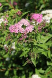 Fleurs en Bulgarie, année 2014 Photo stock