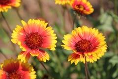 Fleurs en Bulgarie, année 2014 Photos libres de droits