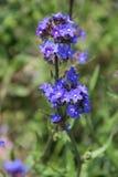 Fleurs en Bulgarie, année 2014 Image stock