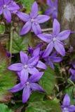 fleurs en forme d'étoile Pourpre-bleues de campanule versicolor Photo stock