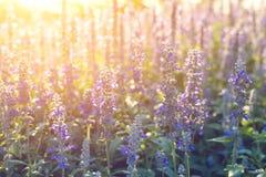 Fleurs en gros plan de lavande dans le jardin Images libres de droits