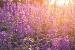 Fleurs en gros plan de lavande dans le jardin Photos libres de droits