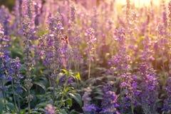 Fleurs en gros plan de lavande dans le jardin Photo libre de droits