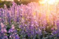 Fleurs en gros plan de lavande dans le jardin Image libre de droits