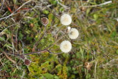 Fleurs en Islande Photos libres de droits