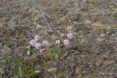 Fleurs en Islande Photos stock