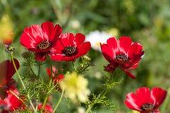 Fleurs en nature, renoncules rouges photos stock