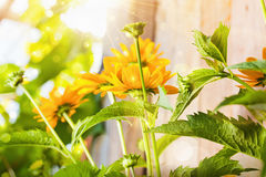 Fleurs ensoleill?es Photos stock