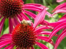 Fleurs et abeille d'Echinacea de Purle Images libres de droits