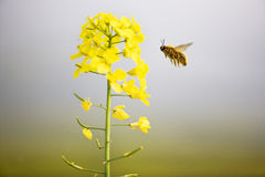 Fleurs et abeille de Cole Photo stock