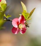 Fleurs et abeille de Crabapple Image stock