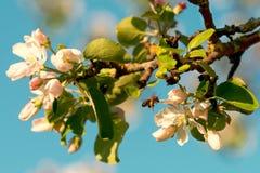 Fleurs et abeille de pommier Images stock