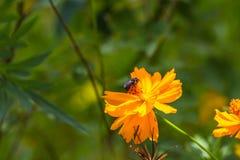 Fleurs et abeille de souci photos stock