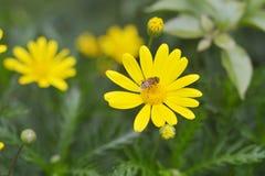 Fleurs et abeille jaunes de chrysanthème Images libres de droits