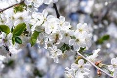 Fleurs et abeilles de cerise photographie stock