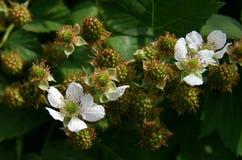 Fleurs et baies Photographie stock