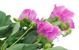 Fleurs et bourgeon floraux des pivoines au fond blanc. Image libre de droits
