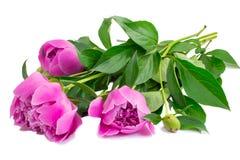 Fleurs et bourgeon floraux des pivoines au fond blanc. Photo stock