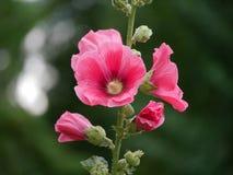 Fleurs et bourgeons de Malv sur le fond vert brouillé image libre de droits