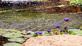 Fleurs et bourgeons de nénuphar Photo libre de droits