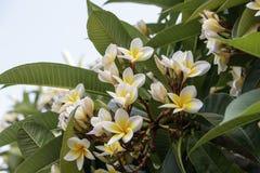 Fleurs et bourgeons de Plumeria alba Photos libres de droits
