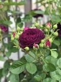 Fleurs et bourgeons de Rose Photographie stock
