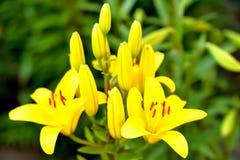 Fleurs et bourgeons jaunes dans la perspective des feuilles vertes Photo libre de droits