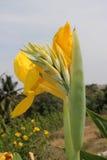 Fleurs et bourgeons jaunes de Canna Image libre de droits