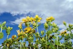 Fleurs et bourgeons jaunes du s-moût de ` de St John aspirant au ciel nuageux Abaissez le point de tir Photo stock