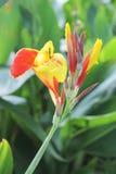 Fleurs et bourgeons jaunes et rouges de Canna Photos libres de droits