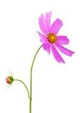 Fleurs et bourgeons pourpres de Wildflower sur un fond blanc Photographie stock libre de droits