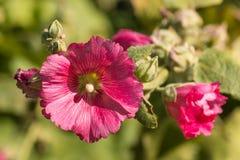 Fleurs et bourgeons roses de rose trémière Photographie stock libre de droits