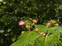 Fleurs et bourgeons sur l'arbre en soie persan de floraison, julibrissin d'Albizia, avec le fond de bokeh, plan rapproché, foyer  Photo stock