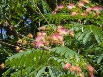 Fleurs et bourgeons sur l'arbre en soie persan de floraison, julibrissin d'Albizia, avec le fond de bokeh, plan rapproché, foyer  Photos stock