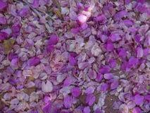 Fleurs et bractées de bouganvillée au sol photos stock
