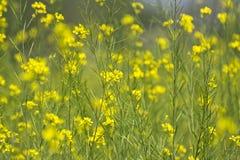 Fleurs et cosses de moutarde Photographie stock libre de droits