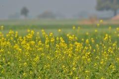 Fleurs et culture de moutarde Photos stock