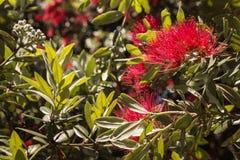 Fleurs et feuilles d'arbre de Pohutukawa Photo libre de droits