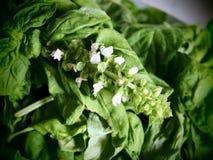 Fleurs et feuilles de Basil Photos stock