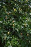 Fleurs et feuilles de Liriodendron Photos libres de droits