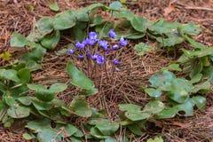 Fleurs et feuilles de liverleaf Image stock