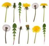 Fleurs et feuilles de pissenlit Photos stock