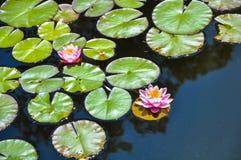 Fleurs et feuilles des nénuphars sur un étang Photos stock