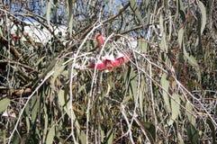 Fleurs et gumnuts argentés de princesse, arrêt de déjeuner entre Hyden et Albany, WA, Australie photos libres de droits