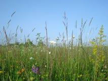 Fleurs et herbe sauvages d'été sur le champ dans la campagne Images stock
